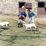 02_sheep_catching_JPG